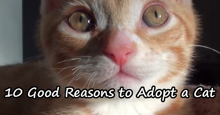 Marmalade with 10 good reasons to adopt a cat