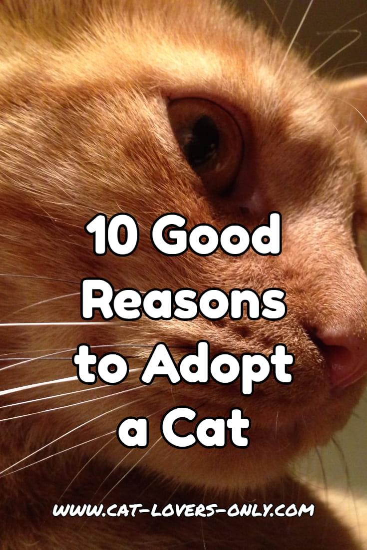 Jazzy the cat's profile with text overlay 10 good reasons to adopt a cat - vertical image for Pinterest