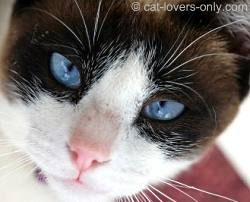 Brown and white bicolor cat face