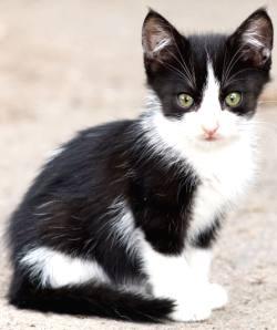 tuxedo kitten outdoors