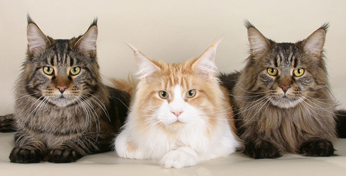 3 Maine Coons.