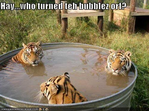 3 tigers taking a bath together