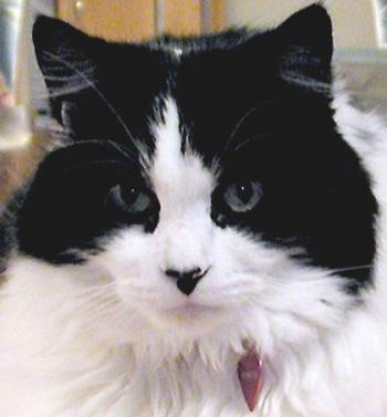 Black and white Ragamuffin cat breed face