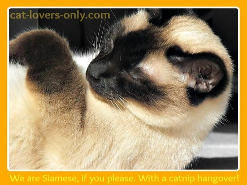 Siamese cat with catnip hangover