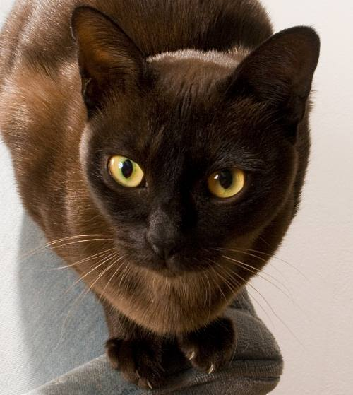 Burmese cat up close