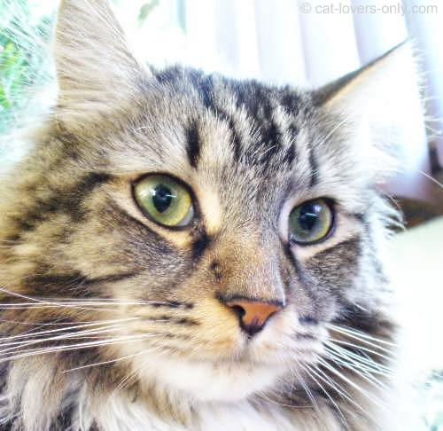 Maine Coon cat face with tabby markings