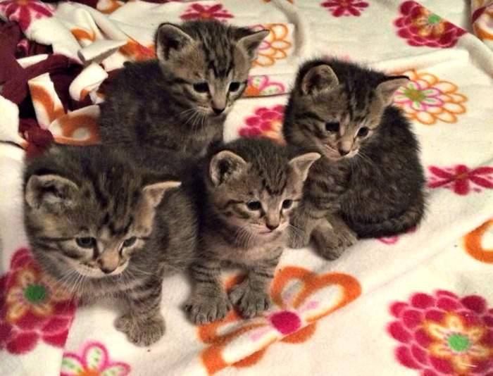 Foster tabby kittens
