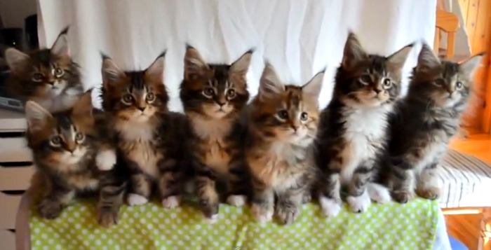 7 Main Coon kittens passed this test