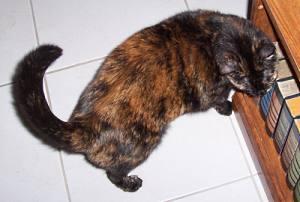Teddie cat scenting bookcase