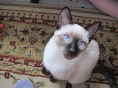 One of my Siamese