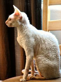 Aja White Cornish Rex Cat
