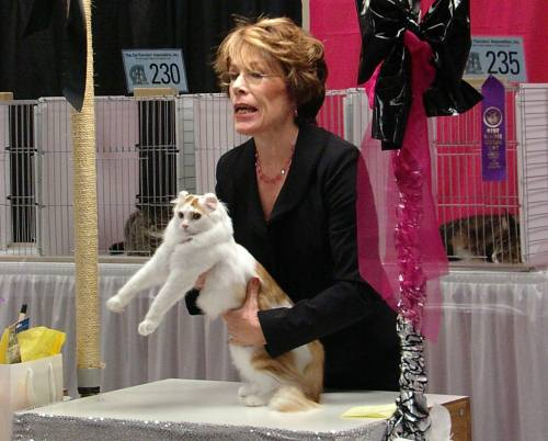 American Curl being judged at cat show