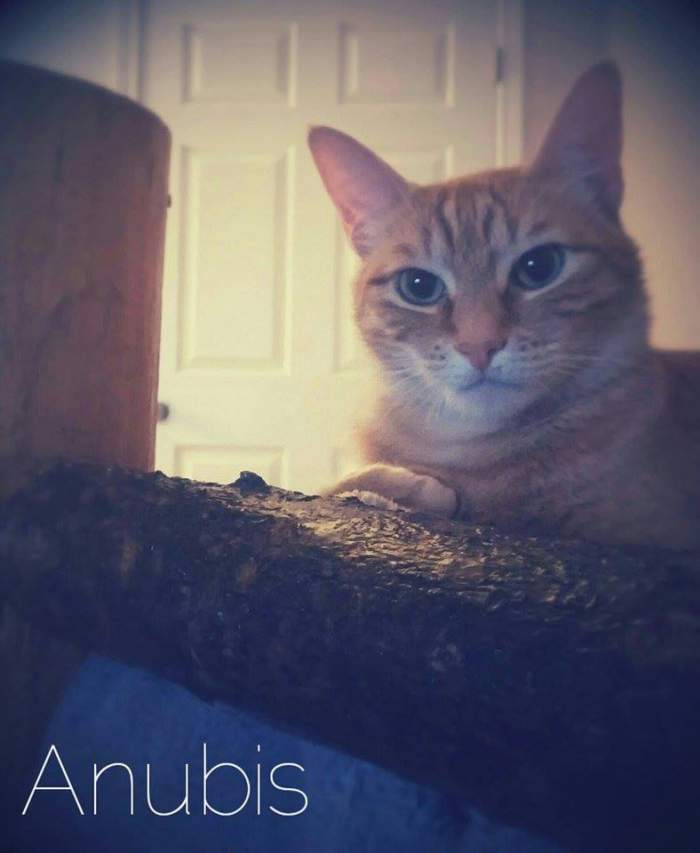 Anubis the tabby