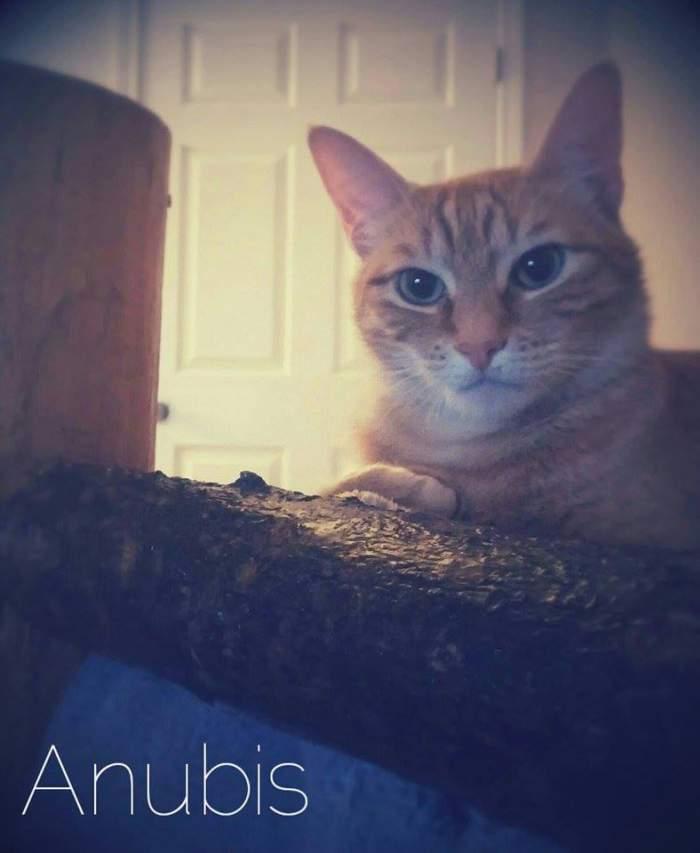 Anubis the tabby