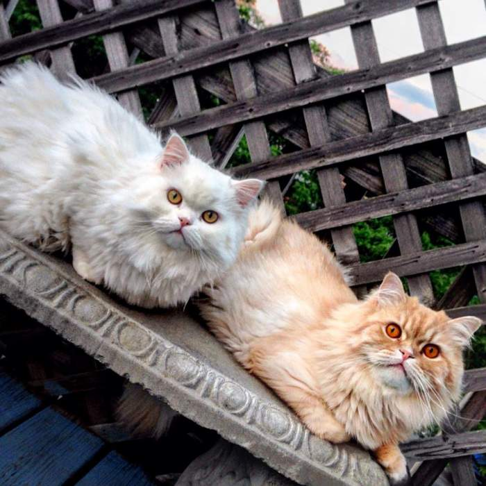 Persian cats Bear and Noah