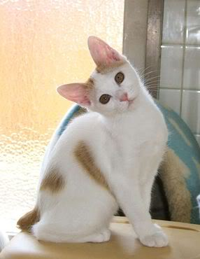Bi-color Japanese bobtail cat