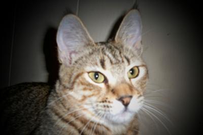 BCF Thumbalina 8mo old kitten