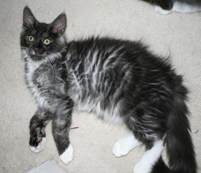 black-smoke kittens 3 months
