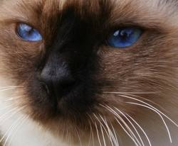 Birman cat face seal point