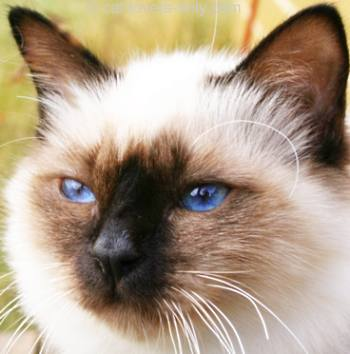 Seal point Birman cat face