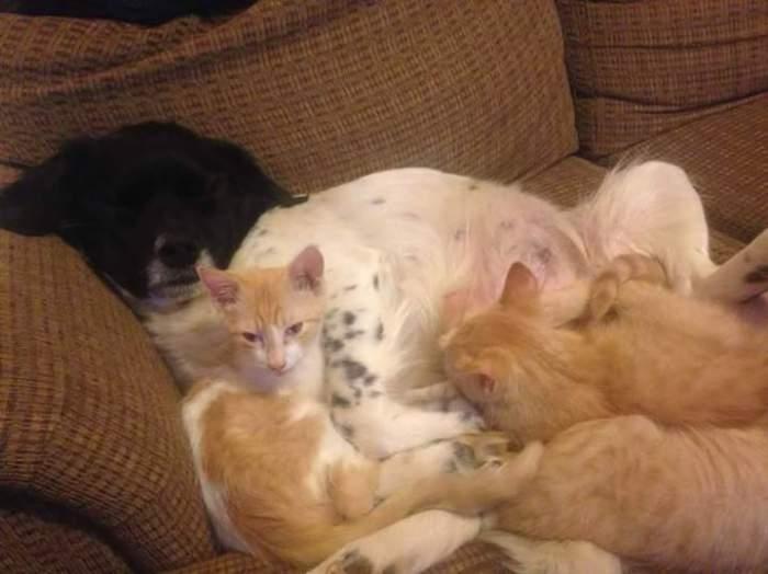 Dog nursing kittens