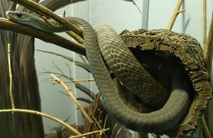 Black mamba snake at St. Louis Zoo
