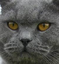 Blue British Shorthair face