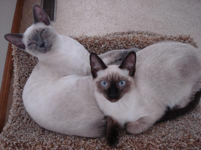 Blue point and seal point Applehead Siamese from Katz Meow Cattery