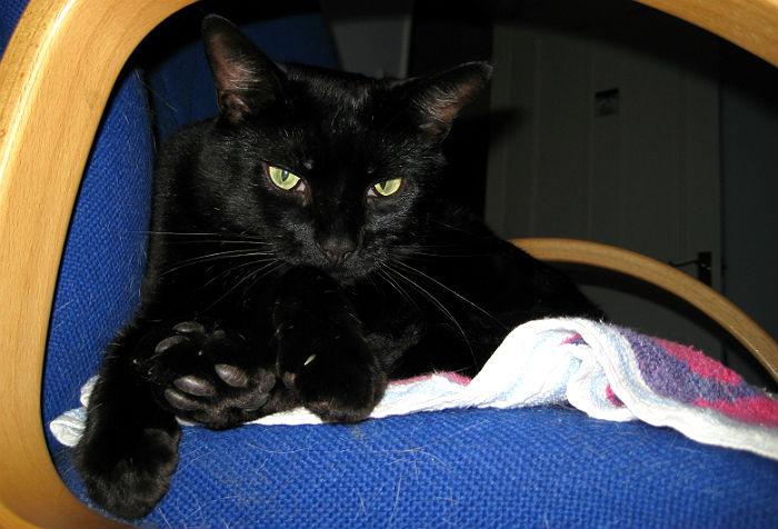 Bernard: Portrait of a Bombay cat #2