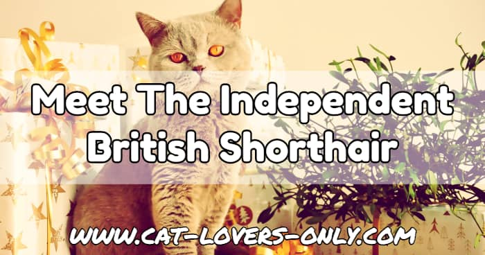 British Shorthair cat with text overlay Meet the Independent British Shorthair