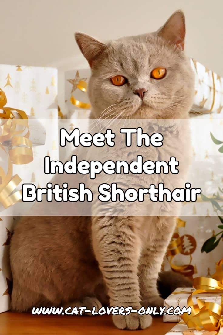 Meet the Independent British Shorthair