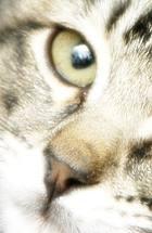Silver tabby kitten face
