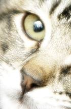 Brown and silver tabby kitten face