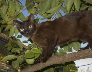 Burmese cat in a tree