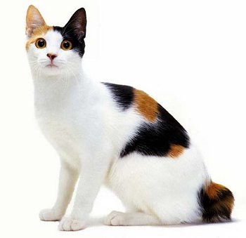 Calico Japanese Bobtail Cat (Mi-ke)