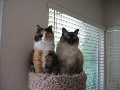 With Frank, our Ragdoll