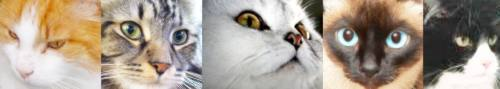 Cat breed faces