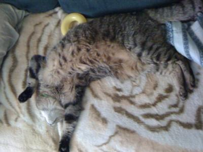 Talvi at 16 yrs old, sleeping on a mink.