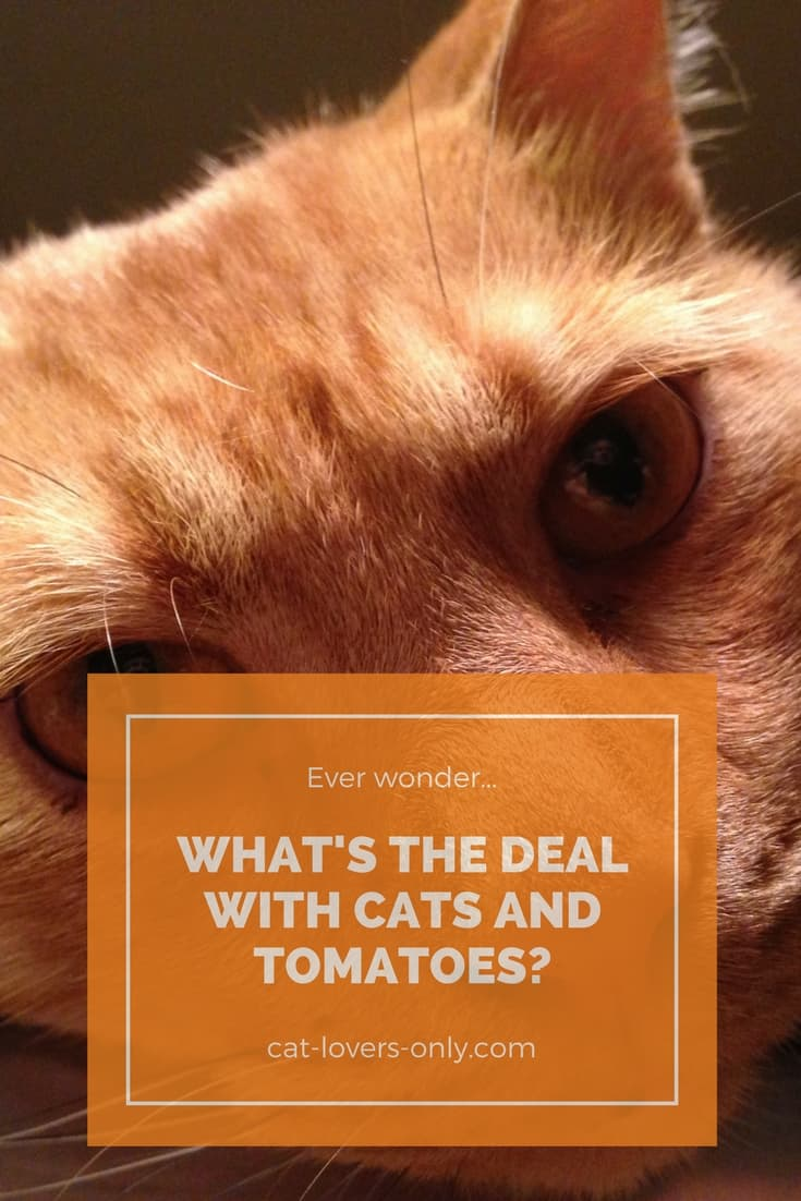 Jazzy the orange tabby with caption What's the Deal with Cats and Tomatoes?