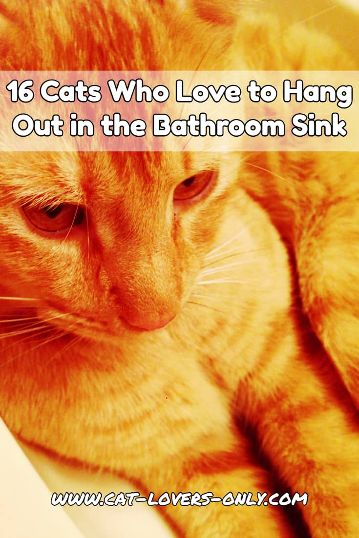 Jazzy cat in the sink with text overlay 16 Cats Who Love to Hang Out in the Bathroom Sink (Pictures)