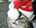 The cats of Christmas, 2014