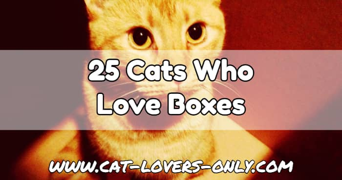 Jazzy the cat's face with text overlay 25 Cats Who Love Boxes