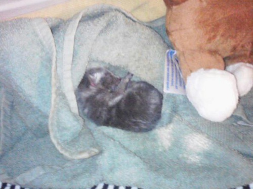 Cedar the kitten at 10 minutes old