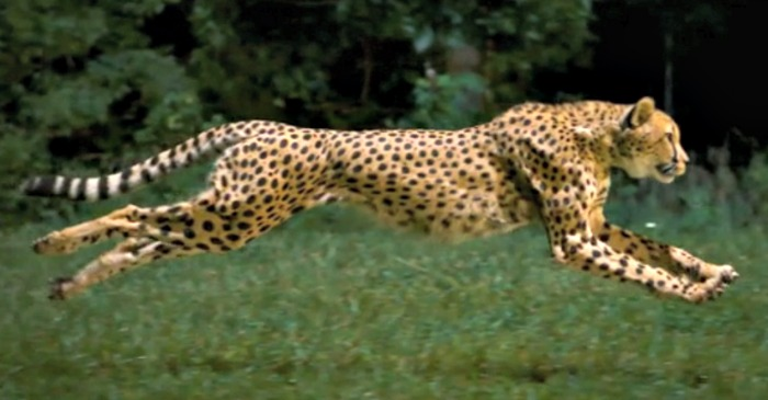 Cheetah running outstretched
