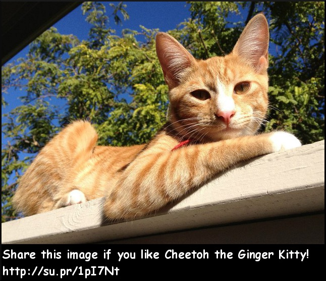 Cheetoh the Ginger Kitty