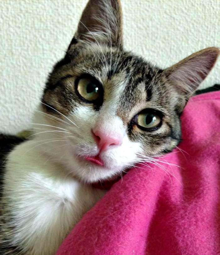 Chibi the tabby and white