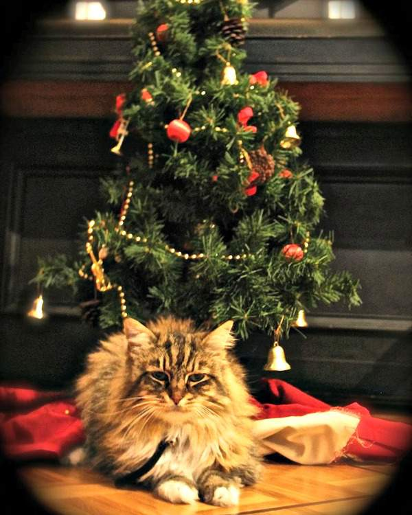 Cleopatra the Norwegian Forest Cat and the Christmas tree
