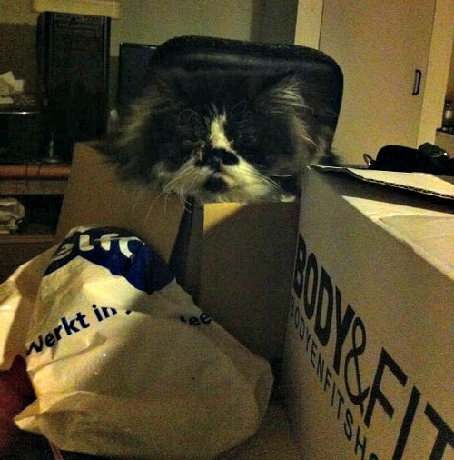 Exotic kitten in a box