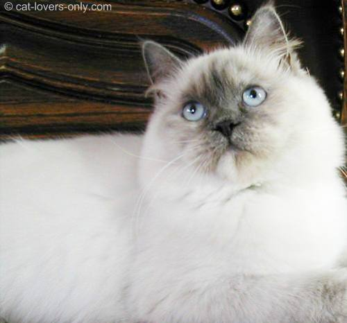 Female lilac tortie point Ragdoll cat
