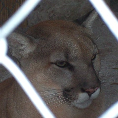 Florida panther face